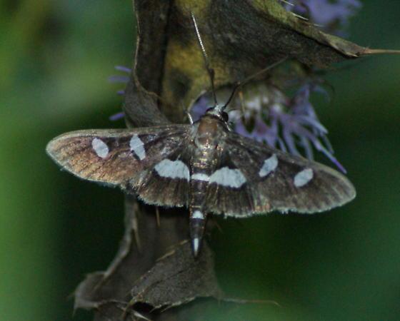 Moth, Thyridoidea? - Desmia