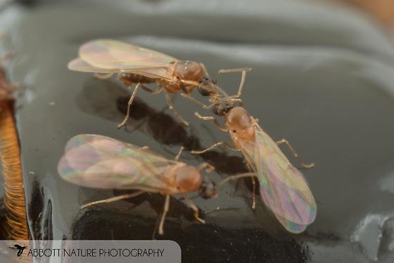 ants on passalid - Brachymyrmex