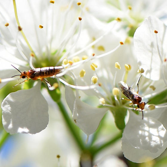 sawflies on cherry blossoms