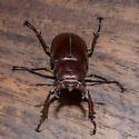 Lucanus capreolus found on back porch in the early evening. - Lucanus capreolus - male