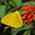 O.B. Sulphur - Phoebis philea