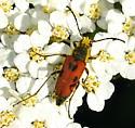 Anastrangalia laetifica female - Anastrangalia laetifica - female