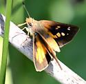 Broad-winged Skipper - Poanes viator - female