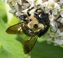 Black-headed bee - Xylocopa virginica