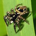 Pretty Florida Jumper - Anasaitis canosa - female