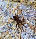 Grass Spiders - Pardosa