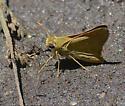 Skipper species? - Hesperia colorado