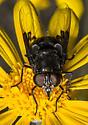 Bg Black Fly - Copestylum mexicanum - female