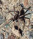 P. californica male - Pardosa californica - male