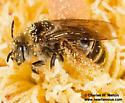 Bee - Diadasia - female