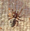 M. pallidus male - Mallos pallidus - male