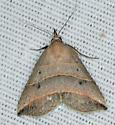 moth brown - Colobochyla interpuncta
