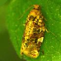 Fruit-Tree Leafroller Moth - 3648 - Archips argyrospila - male