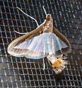 White Moth with PomPom Tail - Diaphania hyalinata - male - female