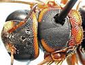 head, dorsal - Anthidiellum perplexum
