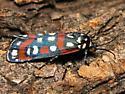 Gold-banded Cydosia - Hodges #8999 - Cydosia aurivitta - female
