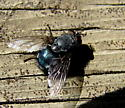 Calliphora vomitoria - Calliphora - male