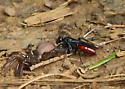 Spider wasp - Priocnemis oregona - female