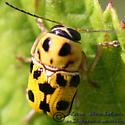 Beetle 04 - Griburius undetermined