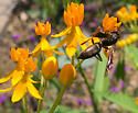 Possibly a paper wasp?