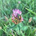 Japanese Beetle (Popillia japonica) - Popillia japonica