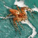 Lynx spider - Oxyopes scalaris - female