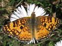 Phyciodes mylitta - male
