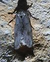 Double-lined Prominent?? - Lochmaeus bilineata