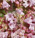 Lasioglossum? - Halictus confusus - male
