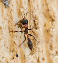 ant - Pseudomyrmex gracilis