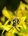 Tiphiid wasp - Myzinum dubiosum - male