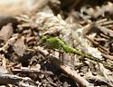Dragonfly - Erythemis collocata - male