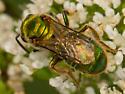 Green Metallic Sweat Bee - Augochlorella aurata
