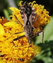 Spined Assassin Bug_Sinea diadema - Sinea