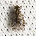 Philotarsidae ? - Aaroniella