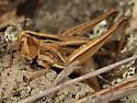Grasshopper - Eritettix simplex - female