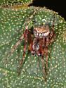 902 - Araneus bispinosus - male