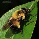 Bombus - Volucella bombylans-complex - male