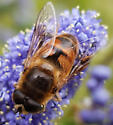 Syrphid fly - Eristalis tenax - male