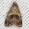 Owlet Moth - Hodges #9003.1 - Tripudia rectangula