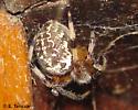 Araneidae - Araneus marmoreus
