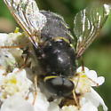 Black fly with long antennae and yellow markings on flower - Stratiomys