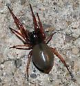 T. tranquillus - Trachelas tranquillus