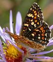 Phyciodes pulchella - female