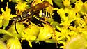 Ceropales - Ceropales maculata - female