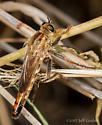 Asilid - Scleropogon haigi - female