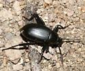 Darkling beetle - Eleodes goryi - male