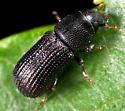 Beetle ID - Stenoscelis brevis