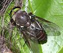 large horsefly - Tabanus americanus