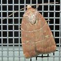 Grateful Midget - Elaphria grata